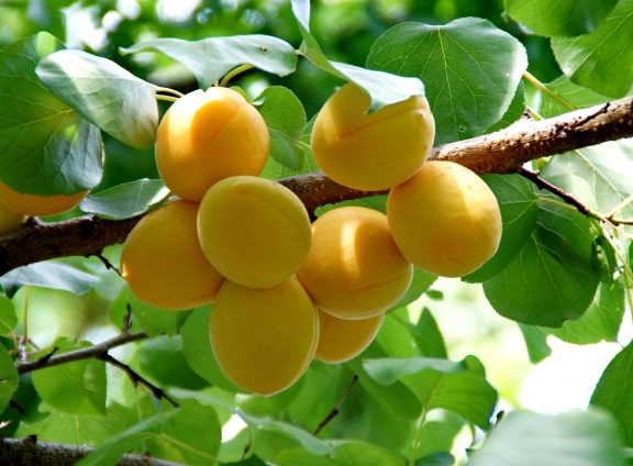 Все о выборе и посадке абрикоса
