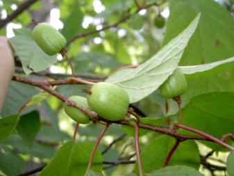 Актинидия: правила выращивания чудо-ягоды