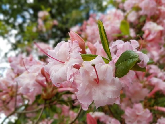 Как вырастить азалию в саду: посадка и уход за растением