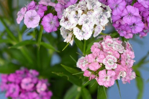 Секреты выращивания рассады гвоздики