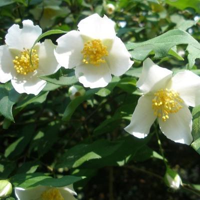 Жасмин садовый Мон Блан