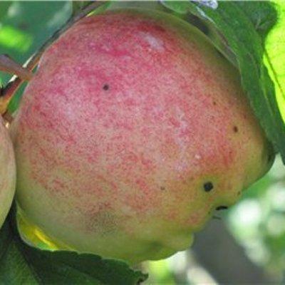 Яблоня Аркад розовый