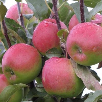 Яблоня Былина