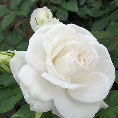 Роза чайно-гибридная Аннапурна