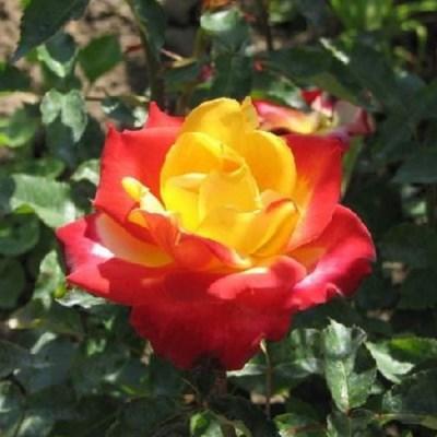 Роза чайно-гибридная Шато Жискур