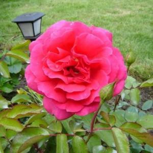 Роза чайно-гибридная Критерион