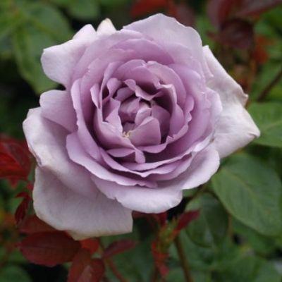Роза чайно-гибридная Генри Идланд