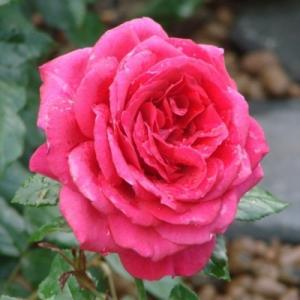 Роза чайно-гибридная Паризе Шарм