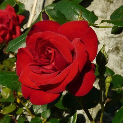 Роза чайно-гибридная Энна Хакнес