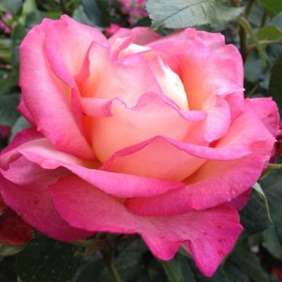 Роза плетистая Рина Херхолдт
