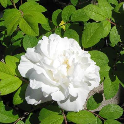 Роза канадская парковая Луиза Багнет