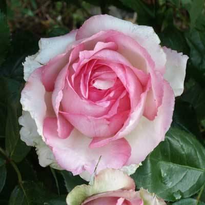 Роза Мейян чайно-гибридная Оноре де Бальзак