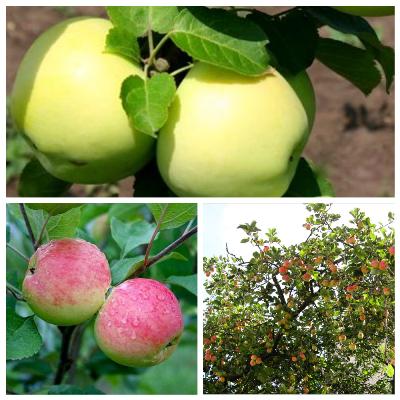 Яблоня Налив белый + Мантет