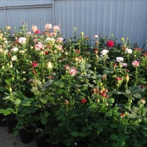 Роза чайно-гибридная в сортах