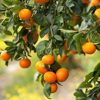 Цитрус Апельсин