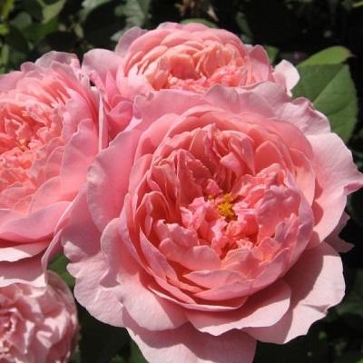 Роза английская парковая Алнвик Роуз
