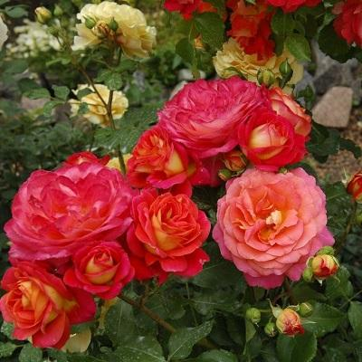 Роза флорибунда Мидсаммэ