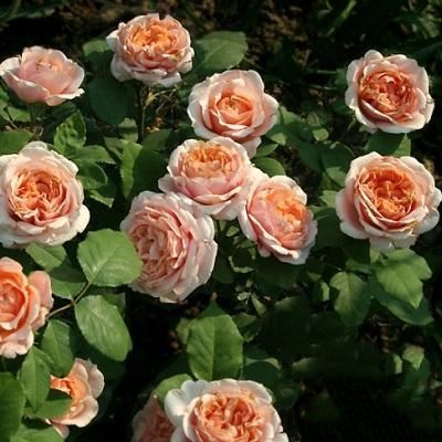 Роза Гийо парковая Поль Бокюз