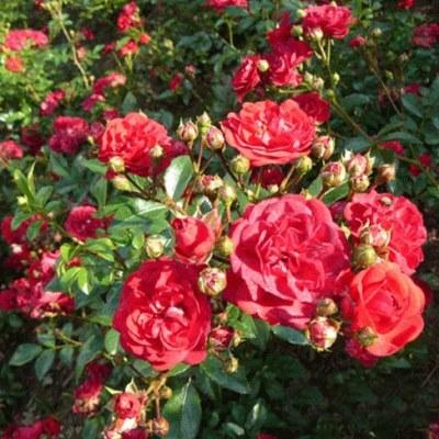 Роза почвопокровная Фэйри Данс