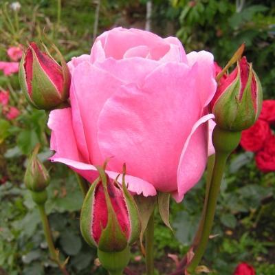 Роза флорибунда Квин Элизабет