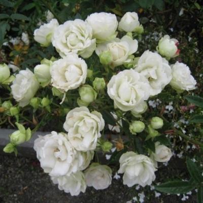 Роза флорибунда Сноувайт
