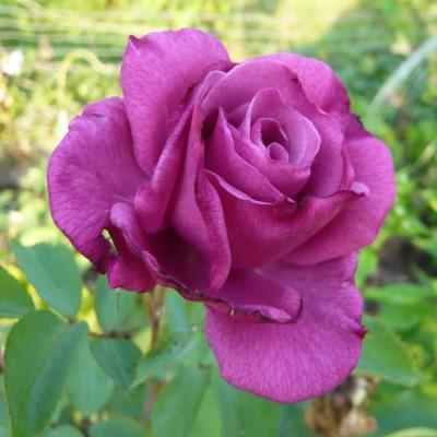 Роза чайно-гибридная Лилла Вондер