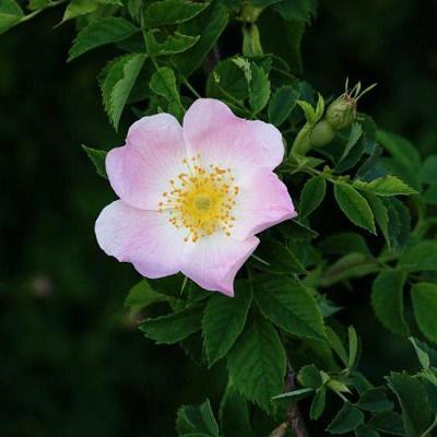 Роза собачья