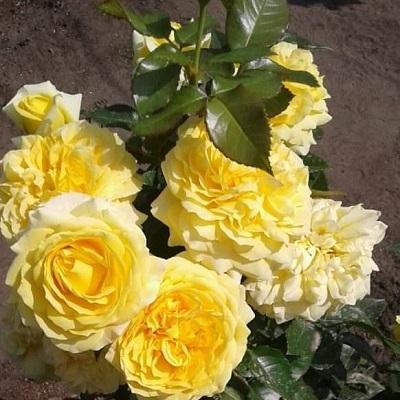 Роза флорибунда Чайна Гел