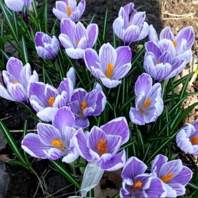 Крокус крупноцветковый Кинг ов Страйпт
