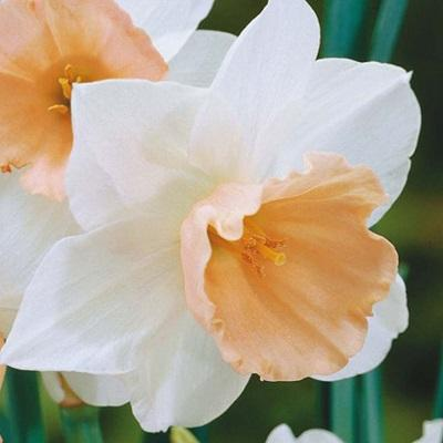 Нарцисс крупнокорончатый Соесдийк