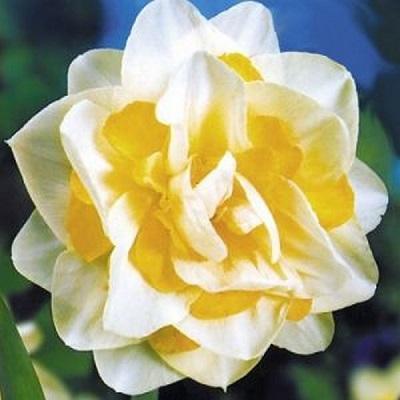 Нарцисс махровый Вайт Лайэн