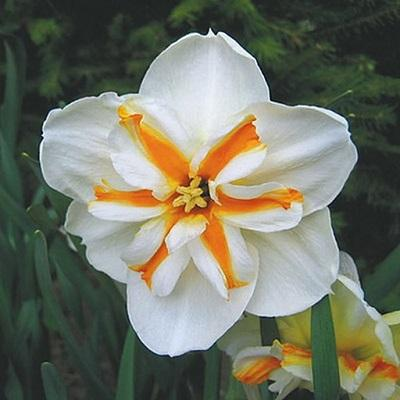 Нарцисс с расщеплённой коронкой Долли Молинджер