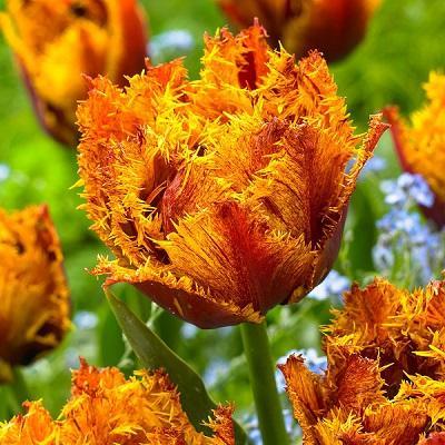 Тюльпан бахромчатый Бастиа