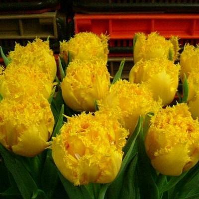 Тюльпан бахромчатый Йеллоу Валери