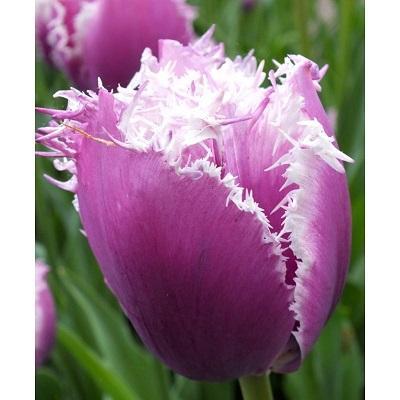 Тюльпан бахромчатый Камминс