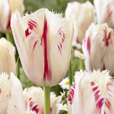 Тюльпан бахромчатый Карусель