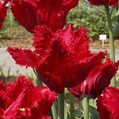 Тюльпан бахромчатый Мазда