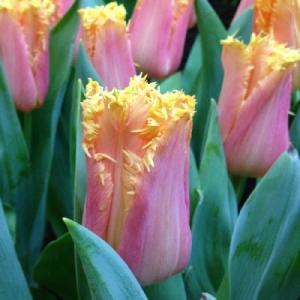 Тюльпан бахромчатый Манго Кристал