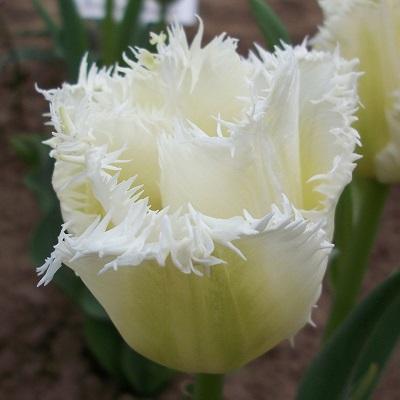 Тюльпан бахромчатый Ханимун
