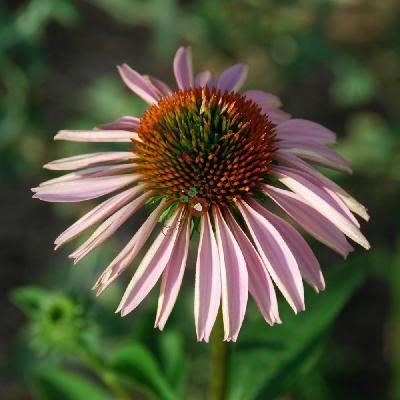 Эхинацея пурпурная Пинк Тип