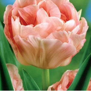 Тюльпан махровый поздний Эприкот Анжелика
