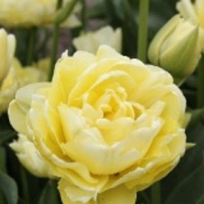 Тюльпан махровый ранний Авангард