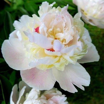 Пион травянистый Мадам Кало