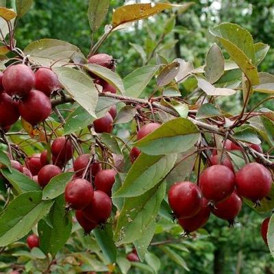 Яблоня декоративная Маковецкого