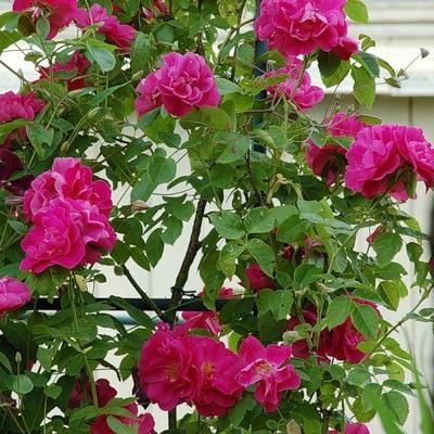 Роза канадская плетистая Джон Кэбот