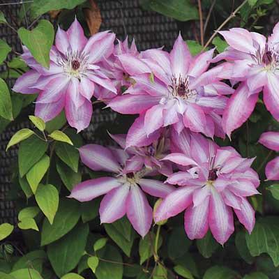 Клематис крупноцветковый Серафина