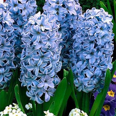 Гиацинт садовый Блу Стар