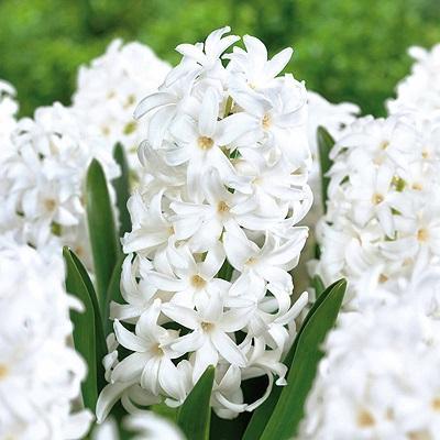 Гиацинт садовый Карнеги