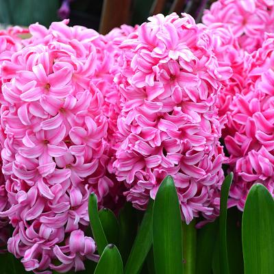 Гиацинт садовый Мари