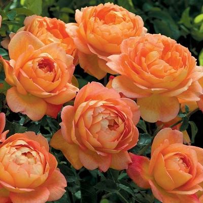 Роза английская парковая Леди оф Шалот